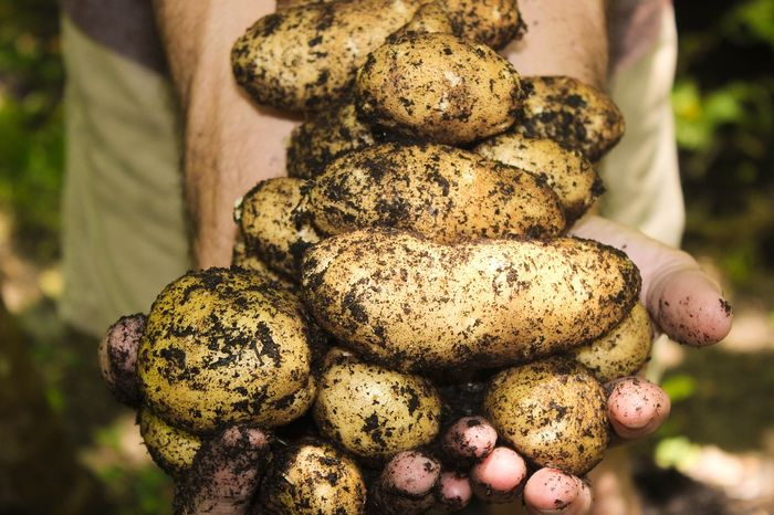 Potatoes are a good candidate for food for Martian astronauts, as they thrive well in harsh environments and have good nutritional value.