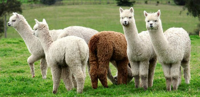 Which of these animals could help protect you from a virus? Credit: North Woods Alpacas