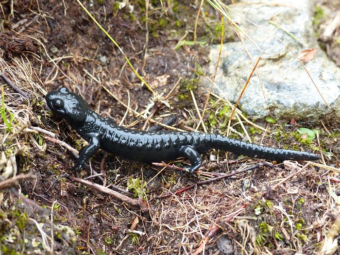 Will salamanders show more resistance to climate change than initially thought?