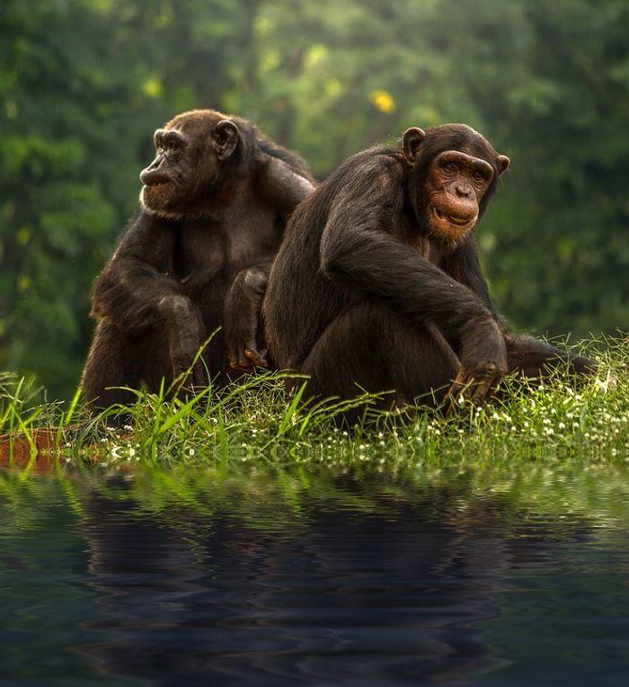 Do kinder chimps live longer lives? A study suggests yes.