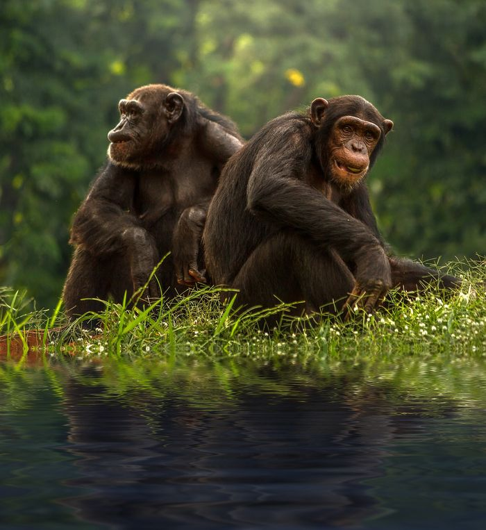 Chimps have always been known for their intelligence, but who knew they'd drink water with home-made sponges?