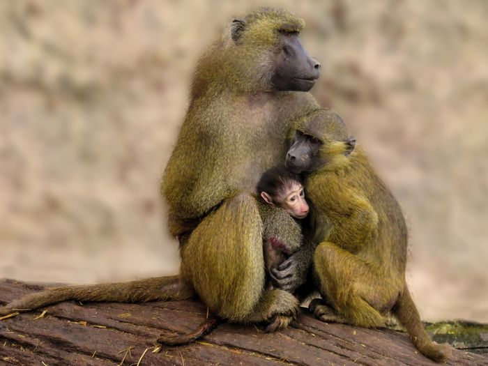 Baboons may avoid copulating with others if they exhibit an STD.