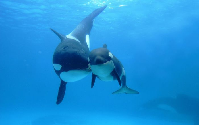 Older female killer whales may experience menopause to reduce competition with younger calves in the pod.