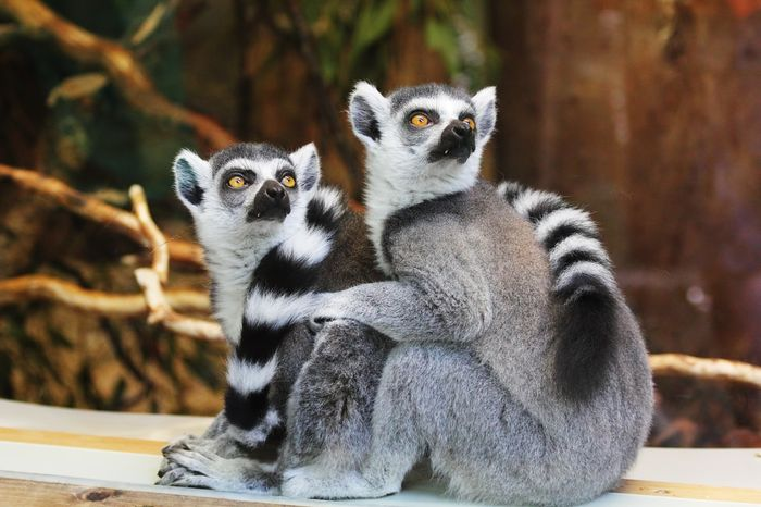Lemurs could go extinct if we don't do something about it.
