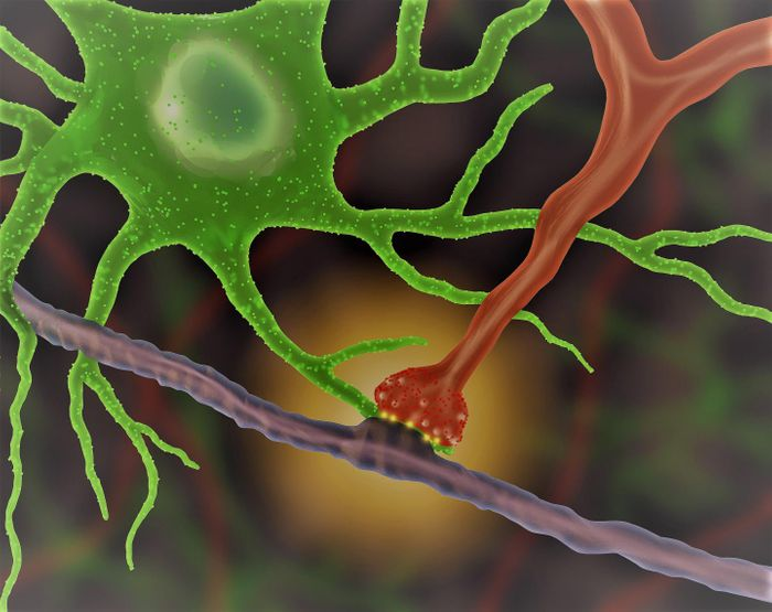 An astrocyte (green) interacts with a synapse (red), producing an optical signal (yellow). / Credit:UCLA/Khakh lab