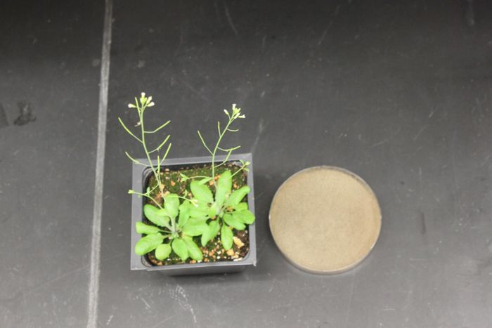 Arabidopsis plants (left) and gray mold (grown in a petri dish on the right) used to investigate the damage-signalling function of HMGB3.