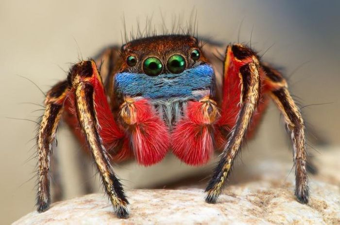 A male North American Habronattus jumping spider shows off his brightly colored face, legs and knees as he prepares to flash his kaleidoscope of colors during an elaborate mating dance ritual. Credit: Thomas Shahan