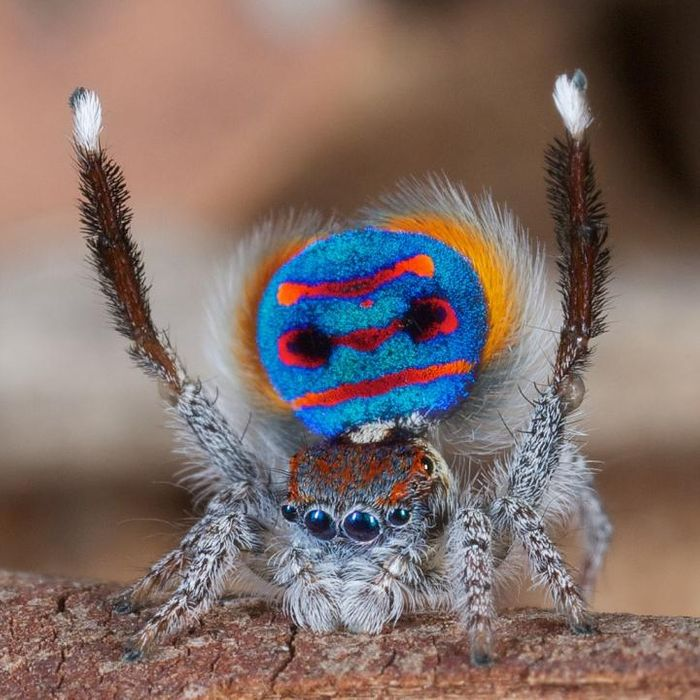 A male Maratus speciosus 'peacock' jumping spider flashes his colorful abdomen flap in preparation for his rhythmic mating dance ritual. / Credit: Jurgen Otto