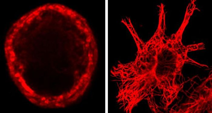 In sensory cells (left), microtubules form a ring just below the cell membrane. In other cells (right), they don't. / Credit: Shane Morley/EMBL