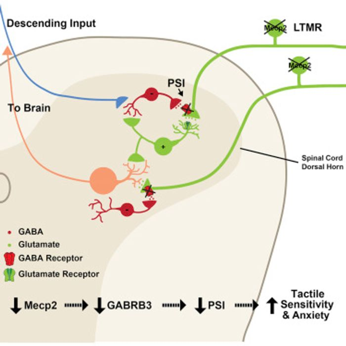 The proposed mechanism from the study is shown: Removal of Mecp2 or Gabrb3 in peripheral somatosensory neurons results in mechanosensory dysfunction through loss of GABAA receptor-mediated presynaptic inhibition of inputs to the CNS. Image: Cell Press