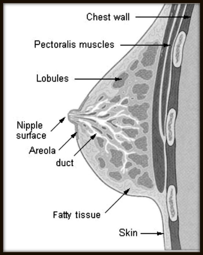 Image: breast diagram, credit: public domain