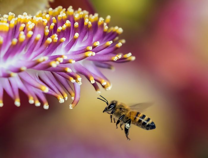 Honeybees in Scotland are now threatened by non-native species being imported intot he country.