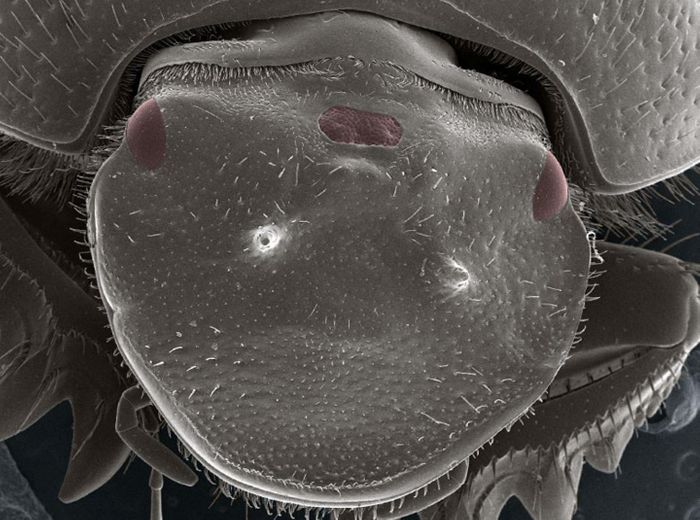 The creation of three-eyed beetles through a new technique developed at IU provides scientists a new way to investigate the genetic mechanisms responsible for the evolutionary emergence of new physical traits. / Credit: Eduardo Zattara