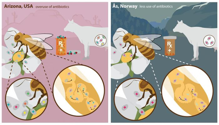 "Antibiotic use in farming and human health leads to bacteria acquiring resistance (indicated by a + sign in the illustration). Antibiotic-resistant bacteria in the environment are picked up by honey bees during pollination. In the bee's gut, genetic material for resistance ""jumps"" to natural gut bacteria, which can spread resistance further. Overuse of antibiotics (USA) leads to more widespread and elaborate patterns or resistance (indicated by multiple colors of + signs). Restricted antibiotic use (Norway) leads to limited and less complex patterns of resistance. / Credit: ASU VisLab"