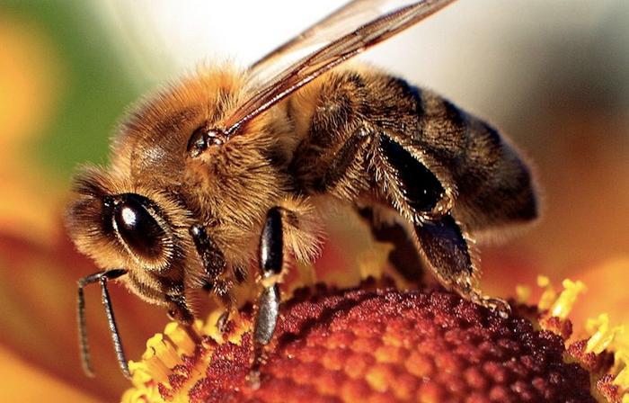 Honeybee / Credit: Wikimedia Commons/Maciej A. Czyzewski