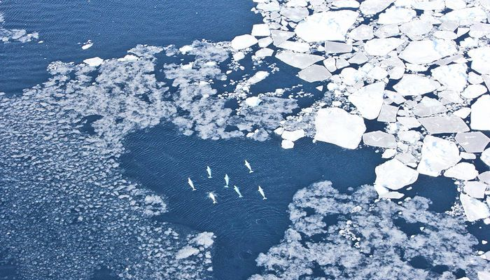 Belugas observed among West Greenland sea ice.