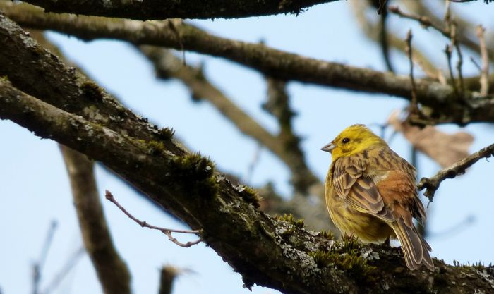 Yellowhammer bird dialects are changing from one region to the next, suggesting one population is failing.
