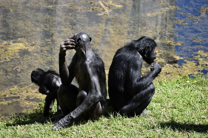 Bonobos and chimpanzees apparently use gestures with similar meanings, despite being entirely different primate species.