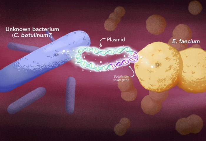 Botulinum toxin was able to jump into a new type of bacteria, Enterococcus, through plasmids, mobile structures that contain DNA independently of the chromosomes and can be swapped from one bacterium to another. / Credit: Elena Hartley