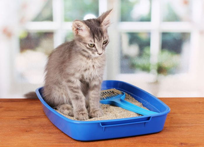 Toxoplasma can be transmitted by domestic cats.