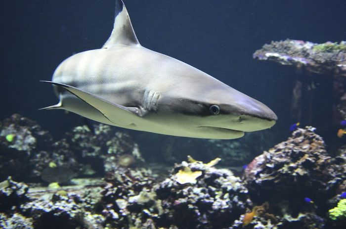 """Conservation efforts of sharks are threatened by a practice called """"finning,"""" but new laws may threaten conservation efforts, scientists argue."""