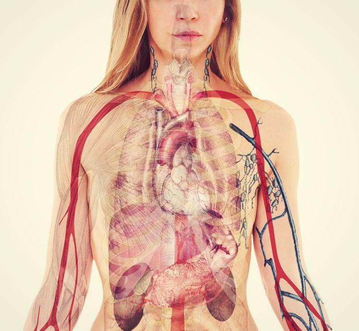 chest anatomy illustration