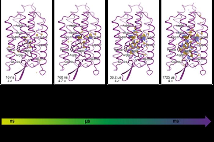 Changes in bacteriorhodopsin over time / Credit: RIKEN