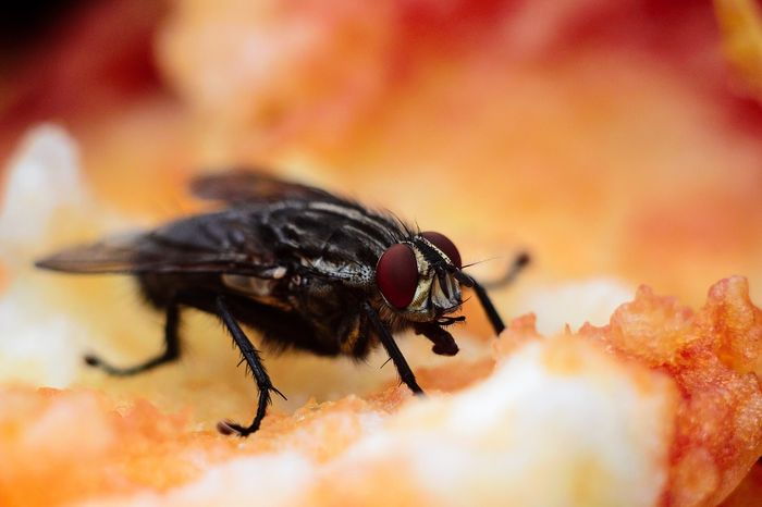 The fruit fly is an example of an insect with compound eyes.