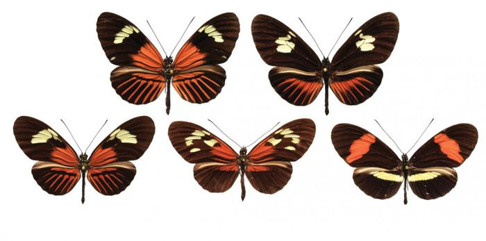 Wing patterns from various Heliconius butterflies