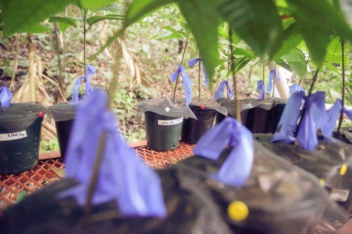 Cacao seedlings / Credit: STRI