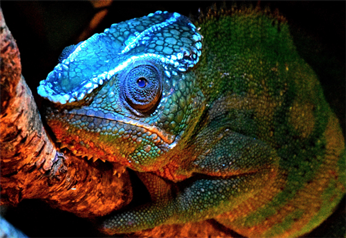 Chameleons sport flourescent bony structures on their heads.