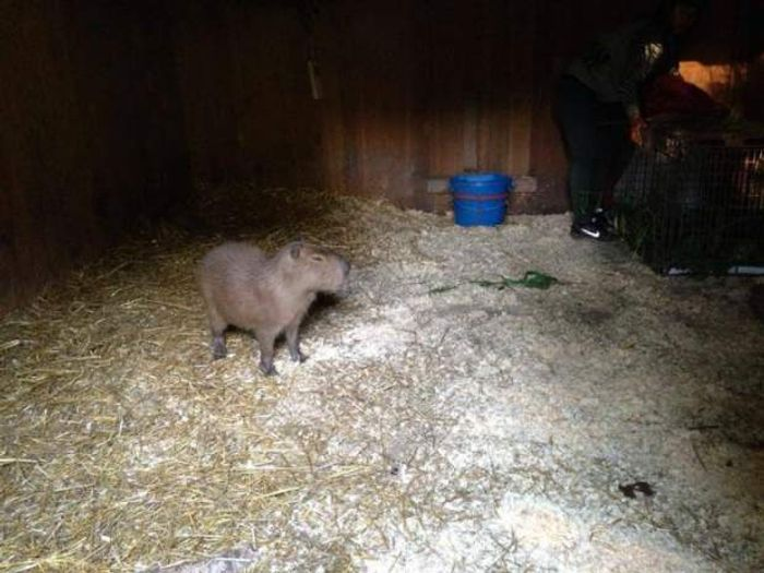 Pictured is the one capybara that was successfully captured. One still remains at large in the park somewhere and is being tracked for recovery.