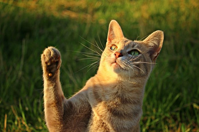 Some cats are left-haned, while some are right-handed. But why?