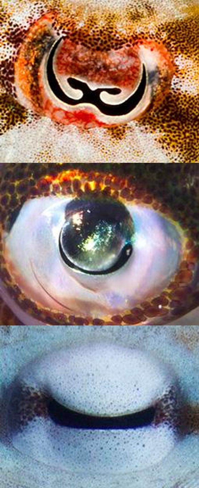 The unusual pupils of cephalopods (from top, a cuttlefish Sepia bandensis; squid Sepioteuthis; and Octopus vulgaris) allow light into the eye from many directions, which spreads out the colors and allows the creatures to determine color, even though they are technically colorblind. / Credit: Photos by Roy Caldwell, Klaus Stiefel, Alexander Stubbs, respectively