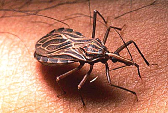 Chagas disease generally spreads through insects known as Triatominae or kissing bugs. Source: OMICS International