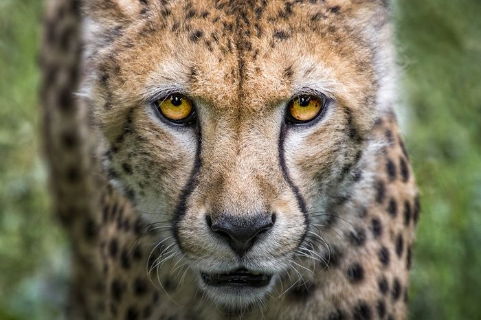 An in-depth analysis now suggests that cheetah populations could be 11% lower than the IUCN recognizes.