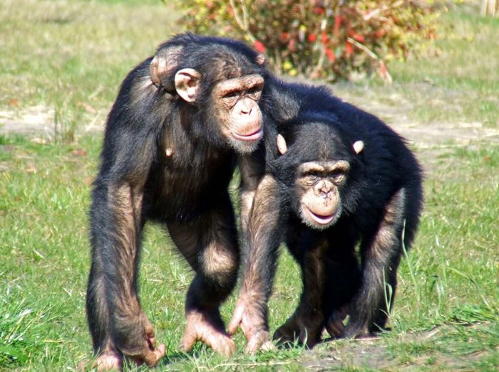 Chimpanzees are less stressed when they have friends to accompany them.