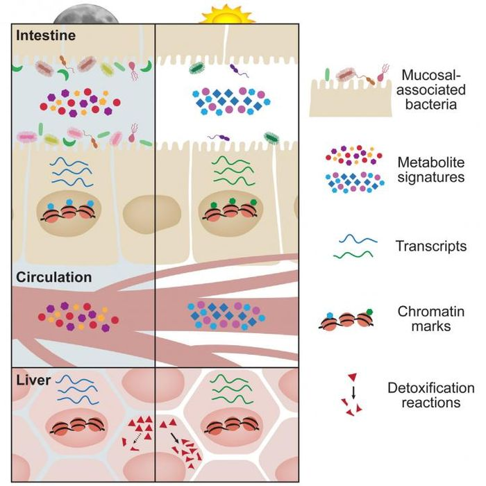 This visual abstract depicts the findings of Thaiss et al, who show diurnal oscillations in microbial localization and metabolite production in the gut have a major impact on the circadian epigenetic and transcriptional landscape of host tissues, not only locally, but also at distant sites such as the liver. /Credit: Thaiss et al/Cell 2016