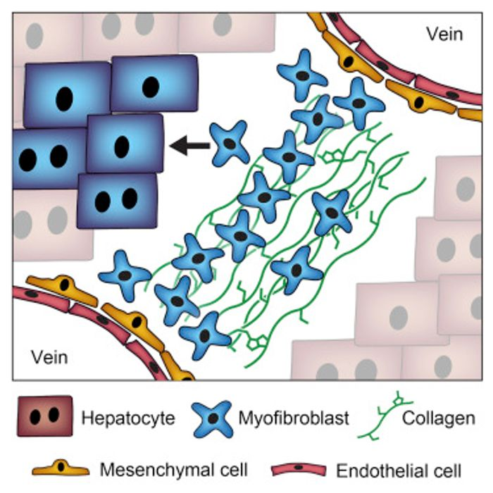 In vivo hepatic reprogramming of scar tissue (myofibroblasts) generates hepatocytes that replicate the function of primary hepatocytes and reduce liver fibrosis.