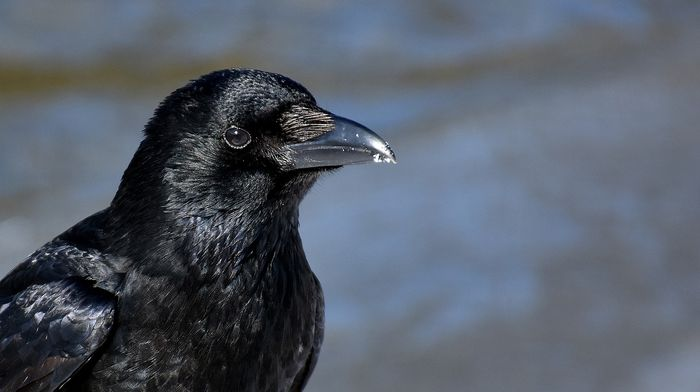 The common raven once diverged into two lineages, but new research finds that they might be hybridizing back into one.