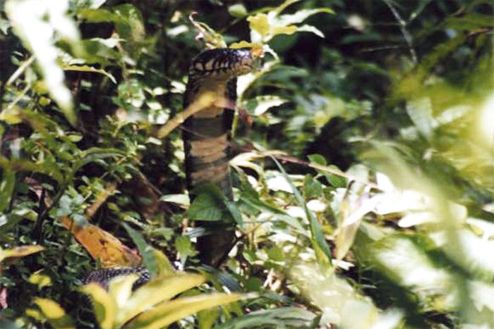 Although it may look like a forest cobra, a genetic analysis concluded that it's something entirely different.