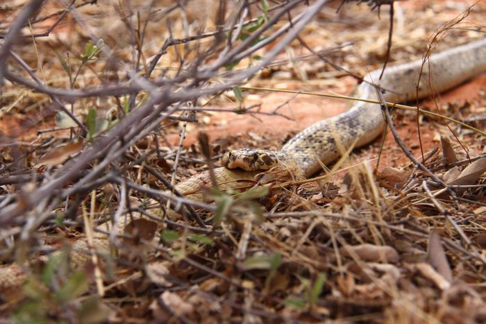 A cobra in the Kalahari Desert partakes in conspecific cannibalism.