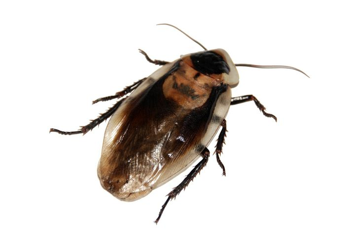 Imagine having one of these so far up your nose that it pokes your brain. EW!