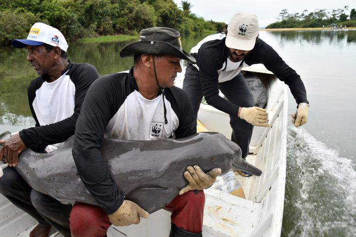 Conservationists care for a river dolphin in Brazil after tagging it with a geolocator.