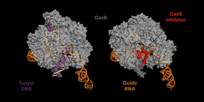 The anti-CRISPR protein (red on right) mimics DNA, binding in the site where the cutting enzyme Cas9 typically grips the target DNA (left) before it cuts. But the anti-CRISPR protein doesn't let go, essentially killing Cas9's gene editing ability. / Credit: Fuguo Jiang, UC Berkeley