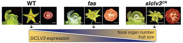CRISPR created various mutations the SICLV3 promoter, changing the number of floral organs and locules in tomato, over a wide range, like a dimmer switch. / Credit: Lippman lab, CSHL