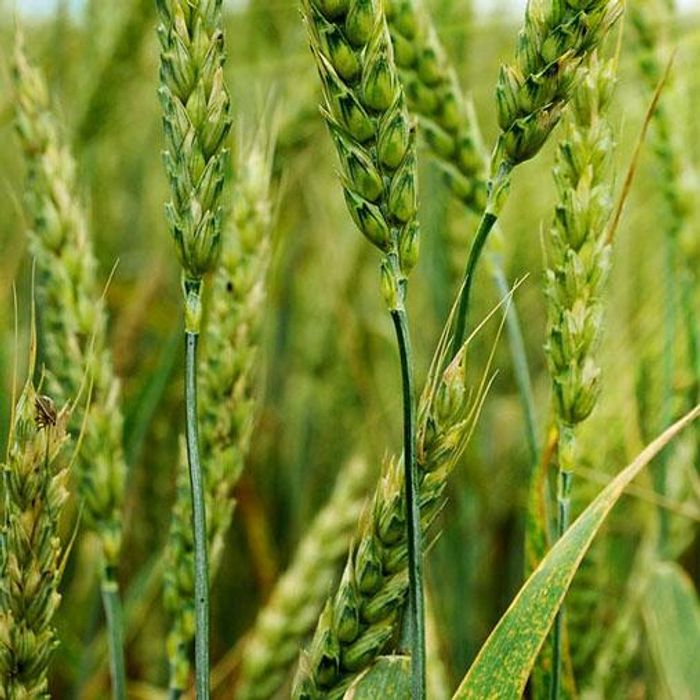 Plant diseases and pests cause considerable crop losses and threaten global food security. / Credit: 123rf