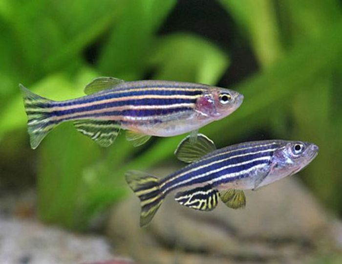 Researchers used zebra fish to learn more about MDR efflux pumps. Photo: World Life Expectancy