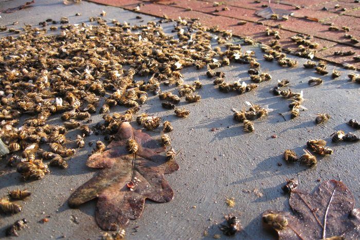 Following the aerial swoop that unloaded an insecticide in the area, millions of honeybees now lay lifeless.