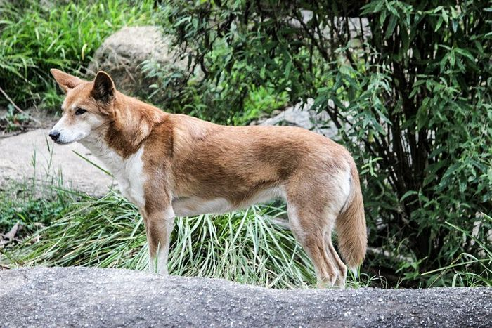 Researchers argue that Australia should recognize the dingo as its own species.